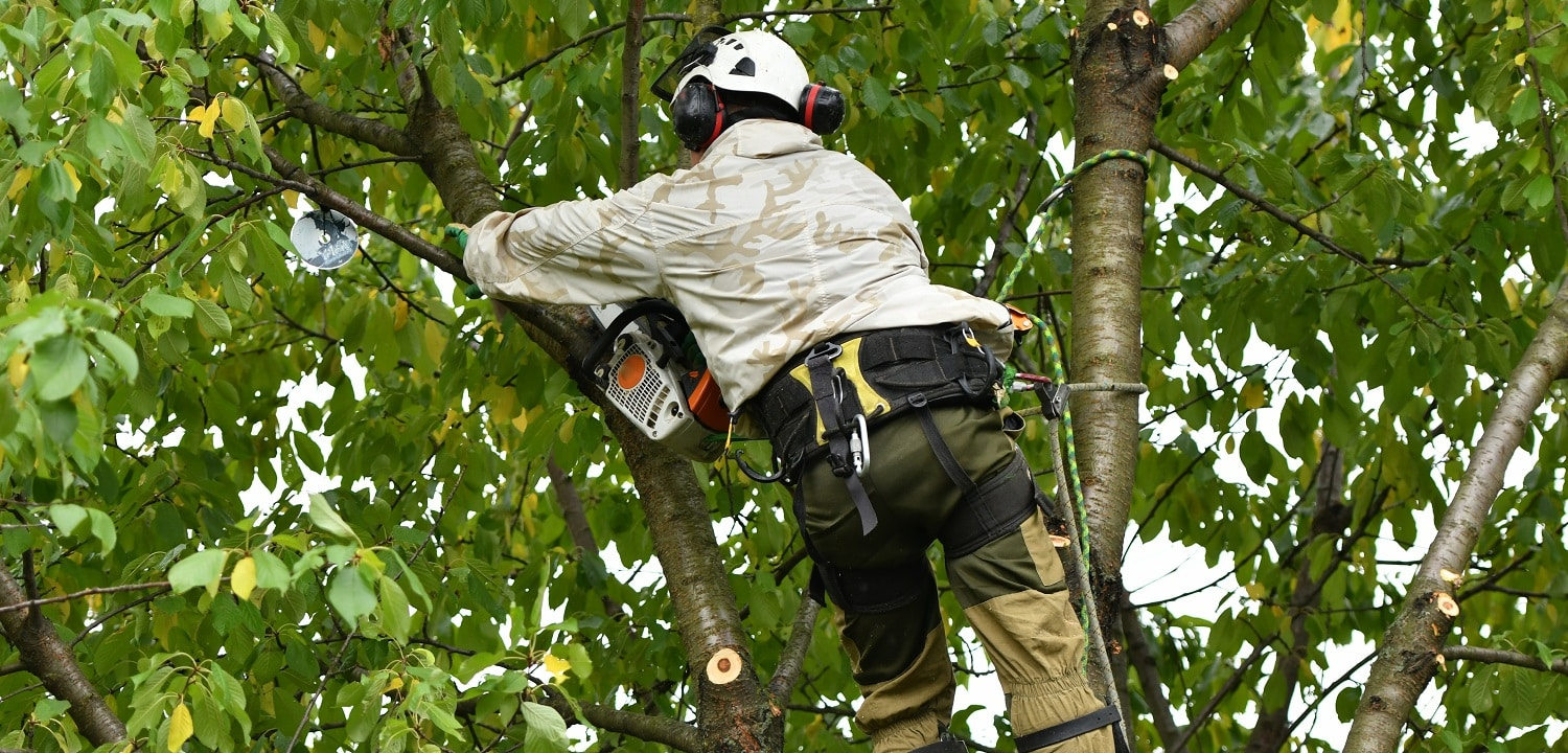 A worker with a helmet works at a height in the trees. Climber on a white background. Arborist man cuts branches with a chainsaw and throws it to the ground. Lumberjack works with a chainsaw