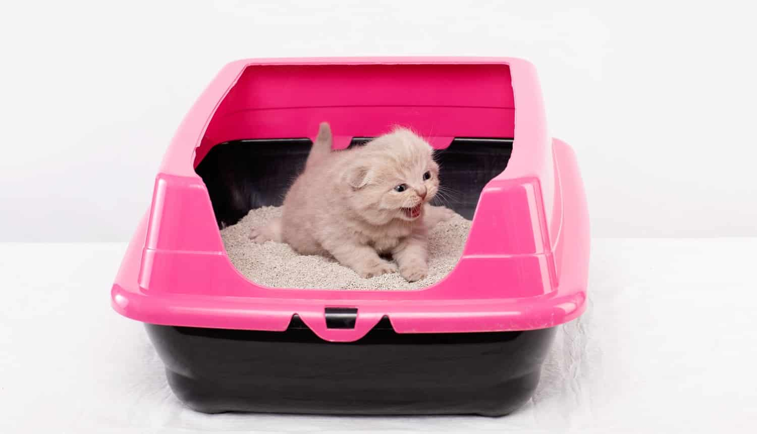 British kitten learns to walk in a pink tray, white background