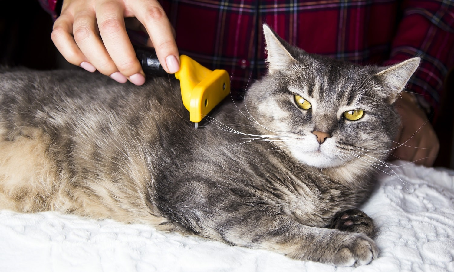 A woman combs her gray cat with a torch to get rid of excess wool. Caring for pets