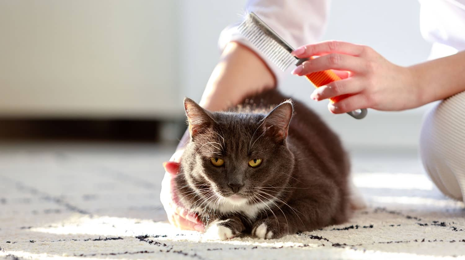 Woman owner combing, scratching her fluffy black cat, close up.