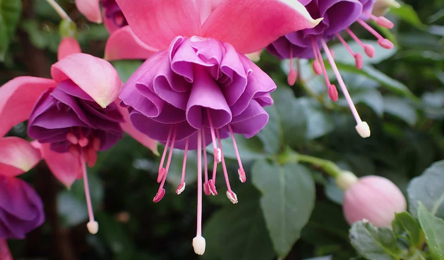30 Types of Pink and Fuchsia Flowers to Consider 1