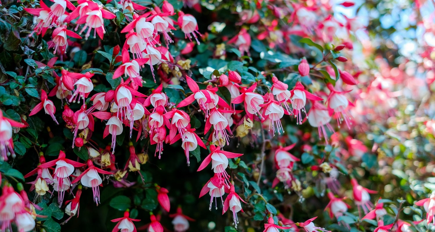 30 Types of Pink and Fuchsia Flowers to Consider 2