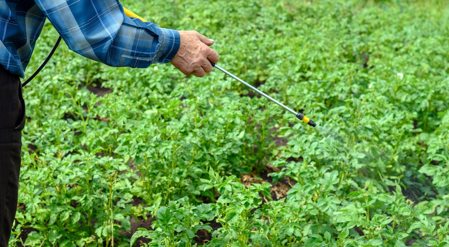 Adult male treats pesticides from Colorado beetles young green potato bushes.