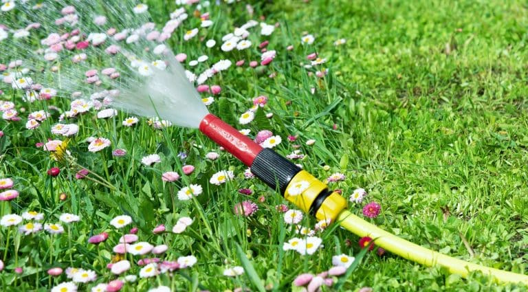 View of a watering hose from which water pours against a lawn with flowers of daisies