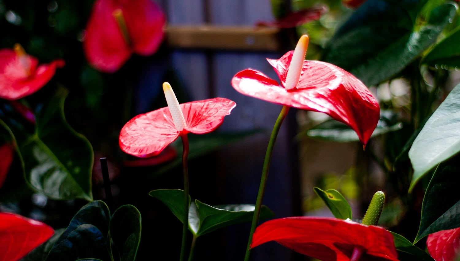 36 Splendid Tropical Flowers to Beautify Your Home 001