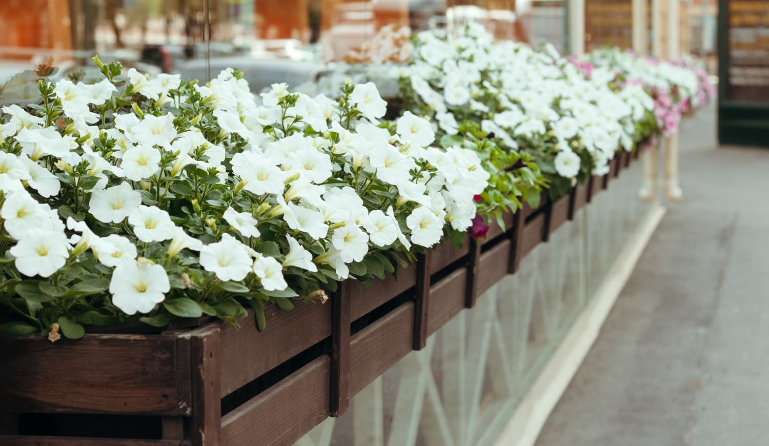 blooming white Petunia in a hanging retro planters on the street