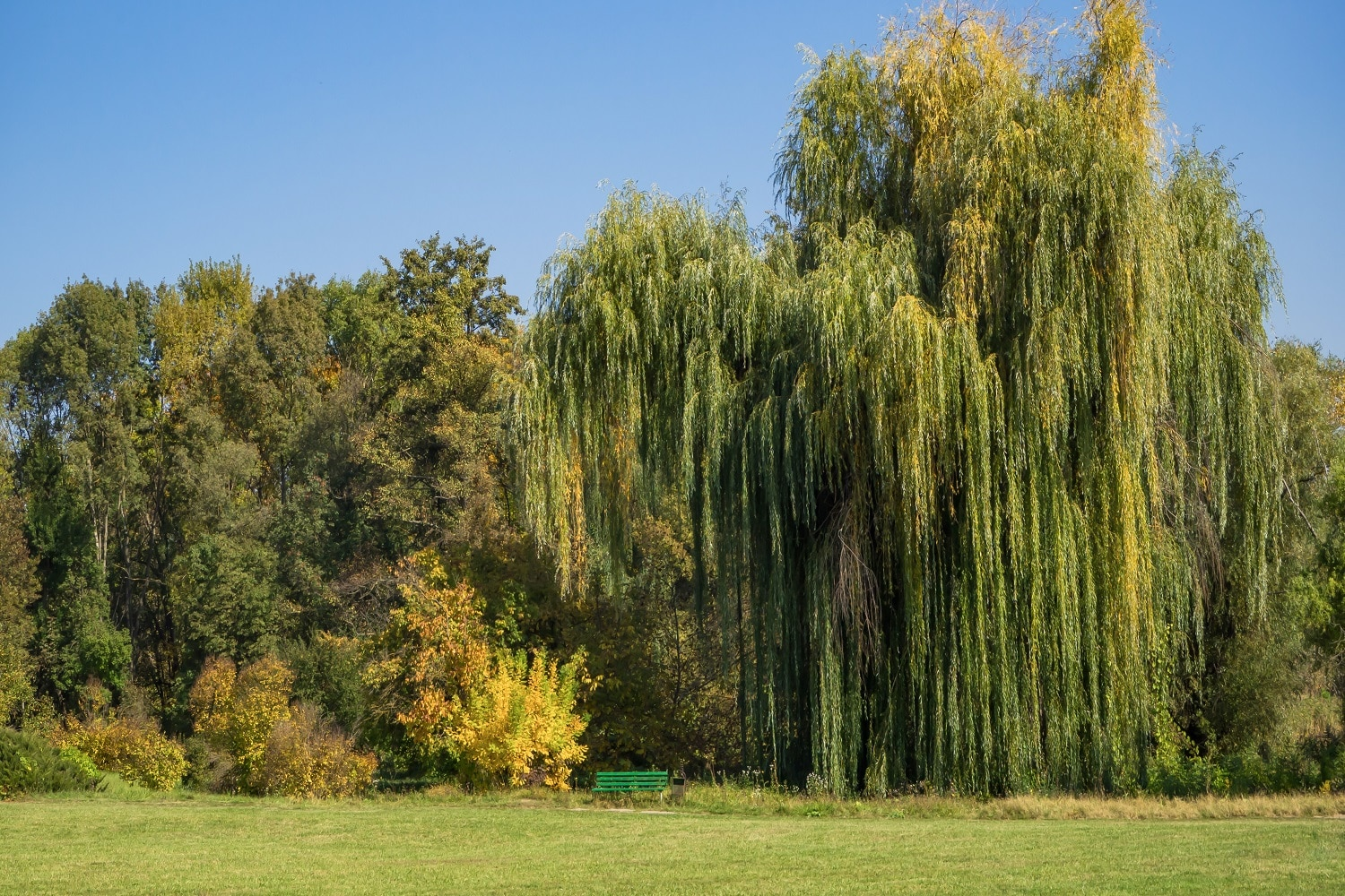 Different Types Of Willow Trees 1