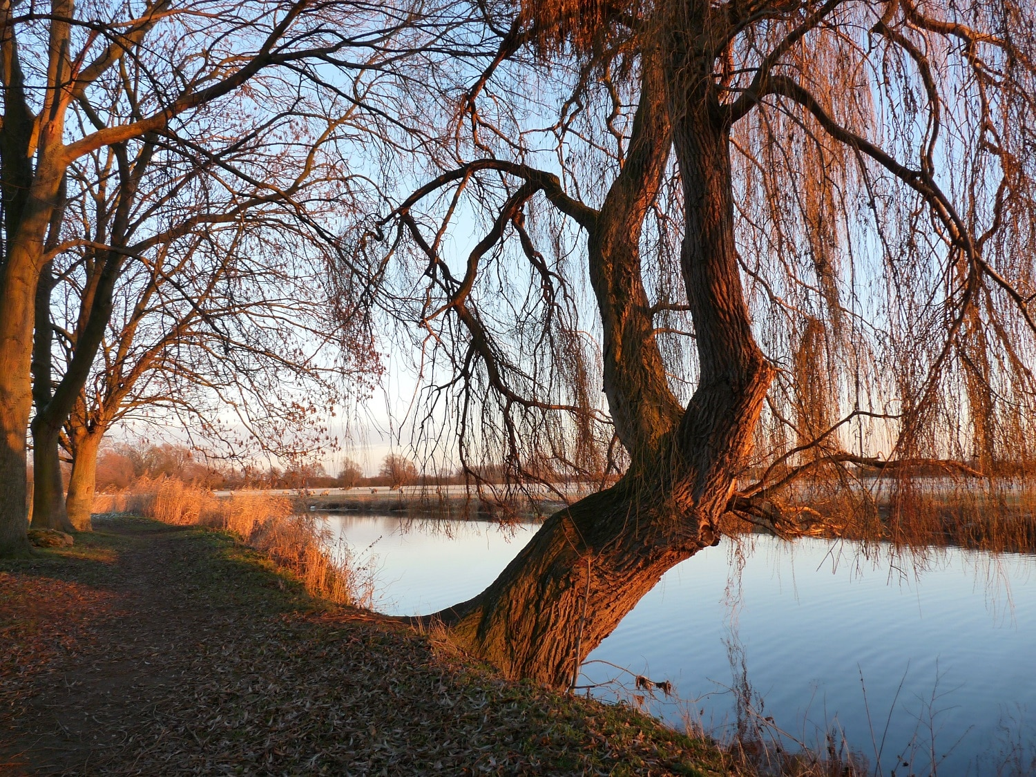 Different Types Of Willow Trees 3