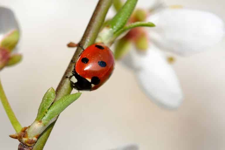 Different Types of Ladybugs 1