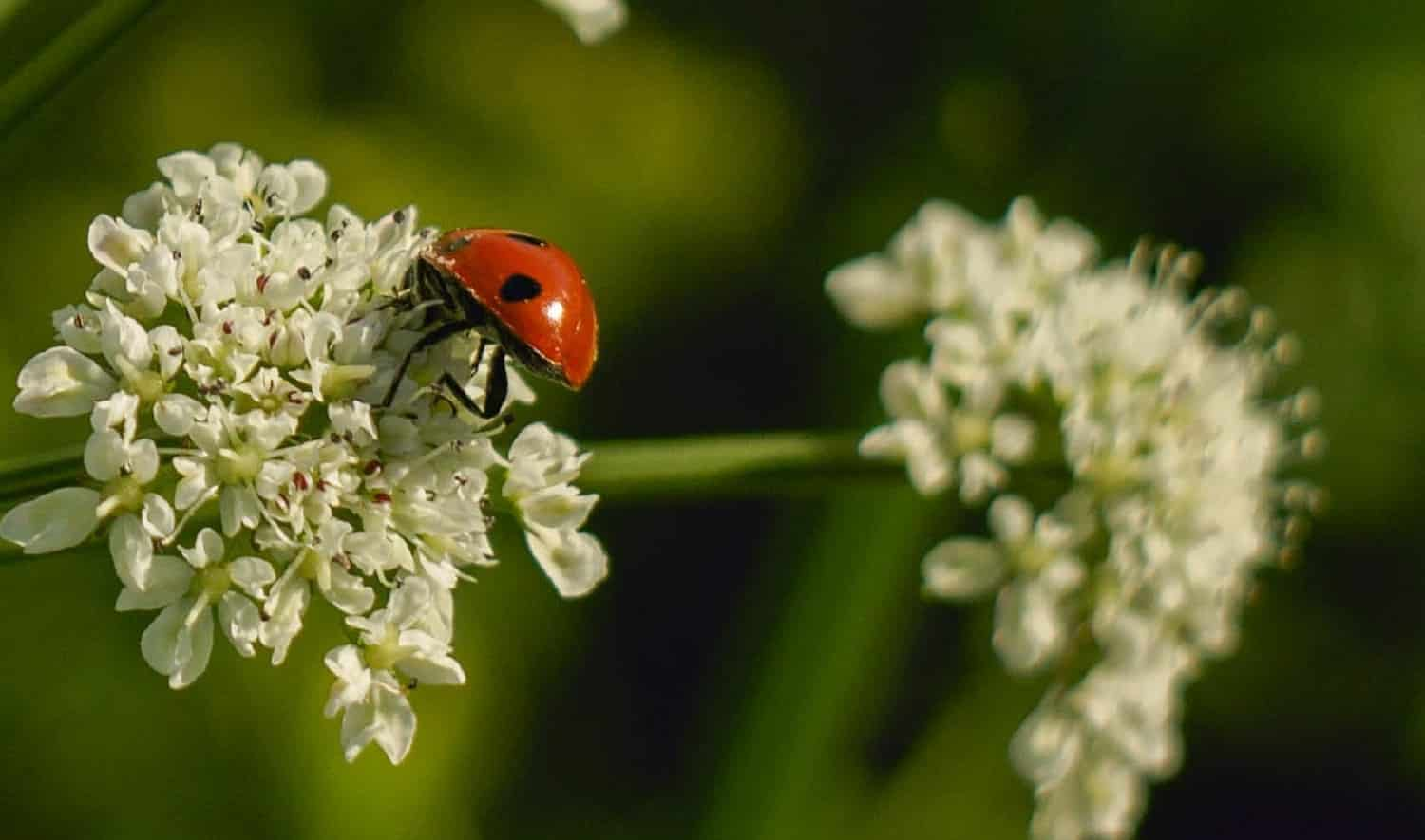Different Types of Ladybugs 3