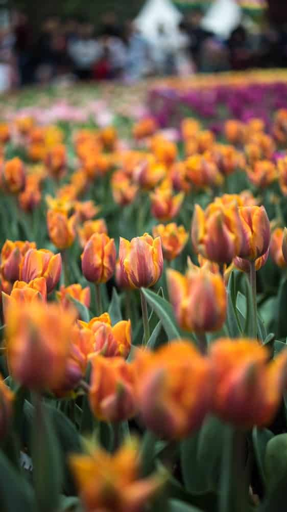 Why Tulips Dont Bloom What You Can Do Actually Works 4