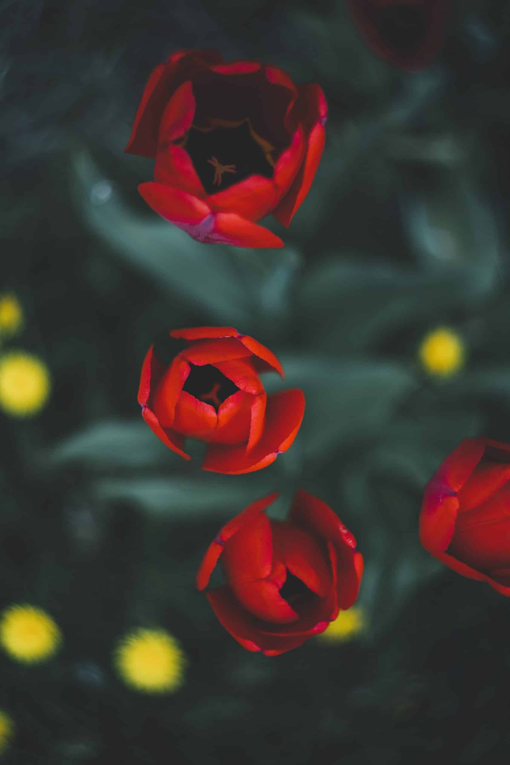 Why Tulips Dont Bloom What You Can Do Actually Works 7 scaled