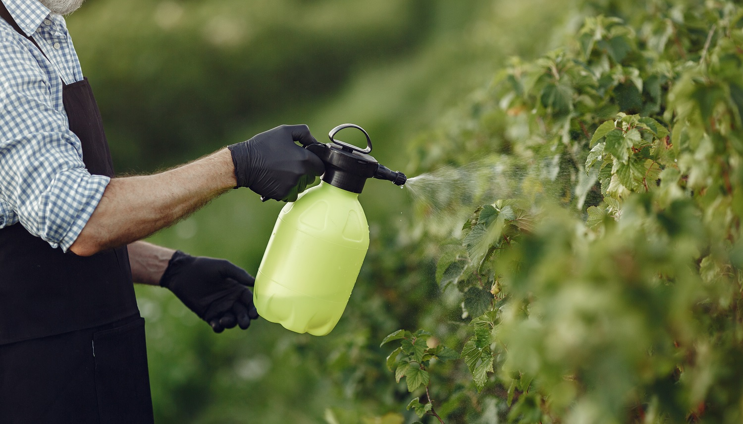 Farmer spraying vegetables in the garden with herbicides. Man in a black apron.