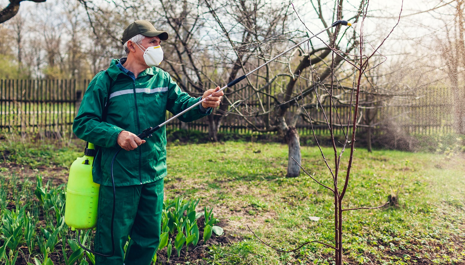 Senior farmer man spraying tree with manual pesticide sprayer against insects in spring garden wearing mask. Agriculture and gardening concept