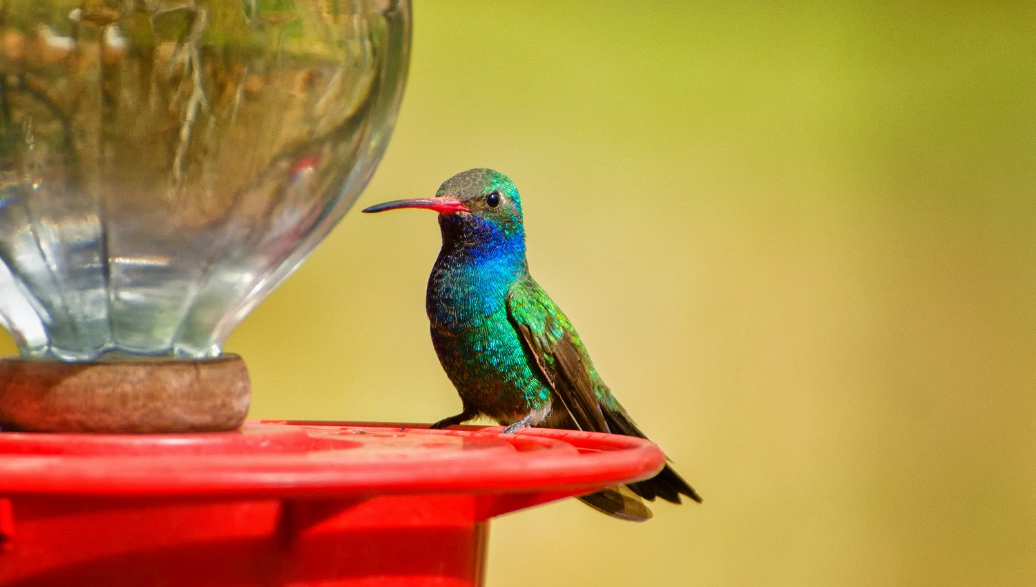 Broad-billed Hummingbird at a Feeder on a Yellow Background