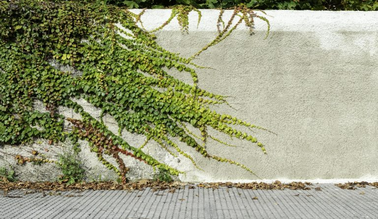 Green and Red Climber Plant on Dirty Damaged Rustic Wall half Covered by Common Ivy or Hedera helix