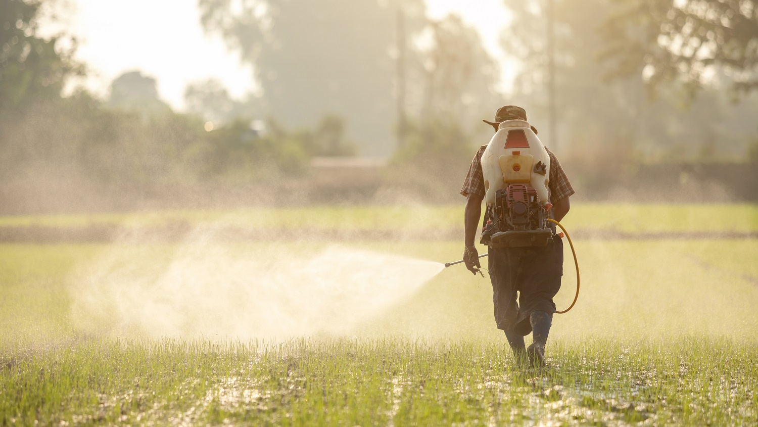 Asian farmer with machine and spraying chemical or fertilizer to young green rice field in morning time