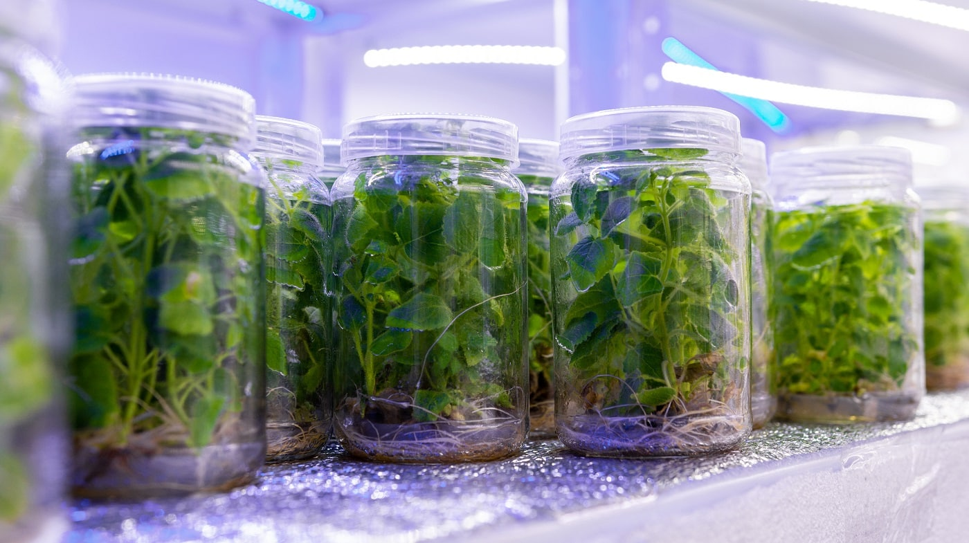Growing paulownia plants under sterile conditions. Micropropagation of flowers and trees in the laboratory under artificial lighting 2021.