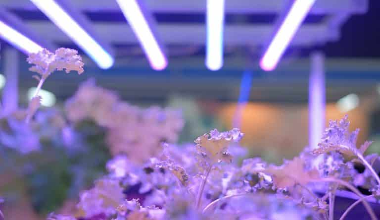 plant growing in smart indoor farm with artificial led light. spectrum phyto lamp for seedling & cultivation
