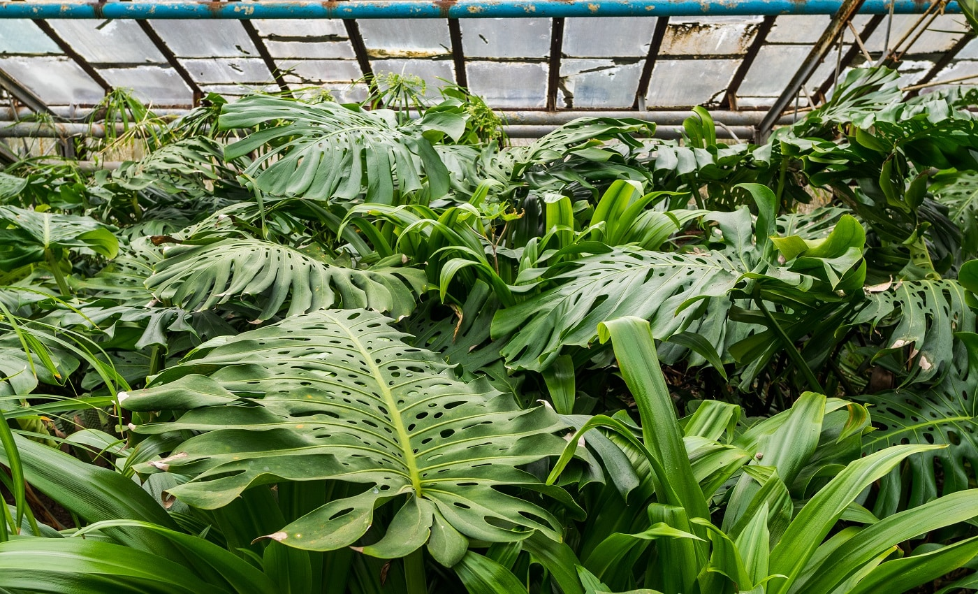 Various tropical plants. Trees and palm trees grow in hothouse conditions. The roof of the greenhouse passes a daylight