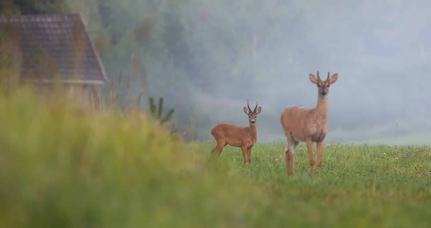 Roe deer buck and white-tailed deer stag standing on field with green grass in summer nature. Differently sized species of mammals in countryside near farm.