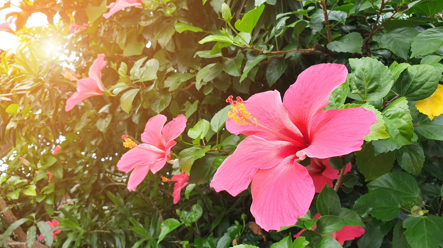 red hibiscus flower and green leaf in natural garden