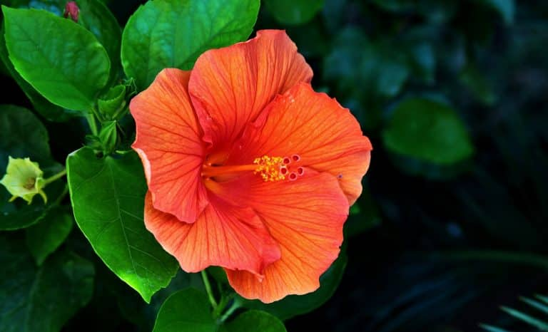 A closeup shot of a beautiful Hawaiian hibiscus in Tuscany And Elba in Italy