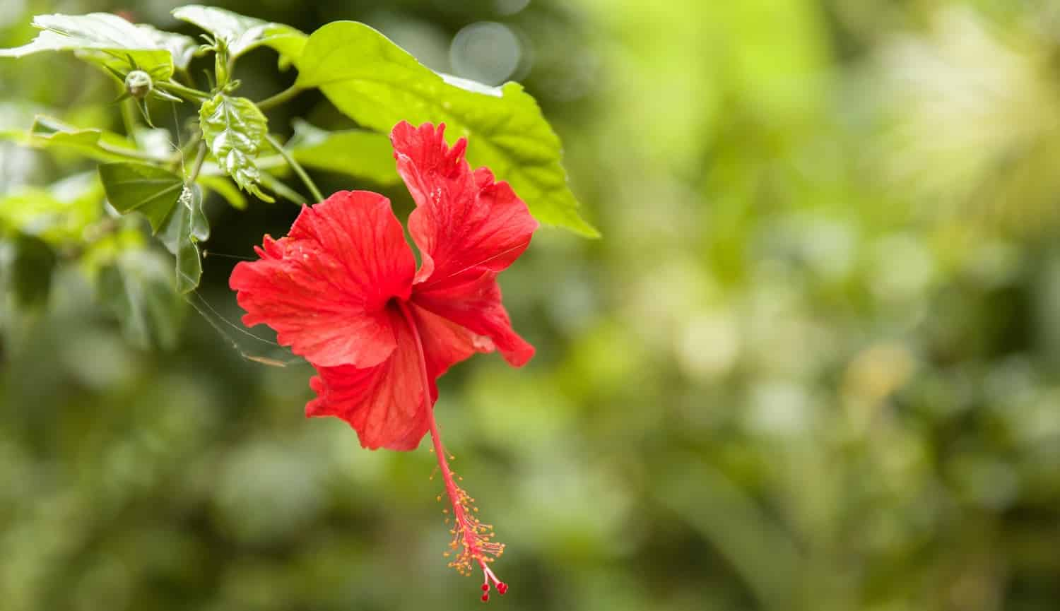 A closeup focused shot of a beautiful red-petaled Chinese hibiscus flower with green leaves