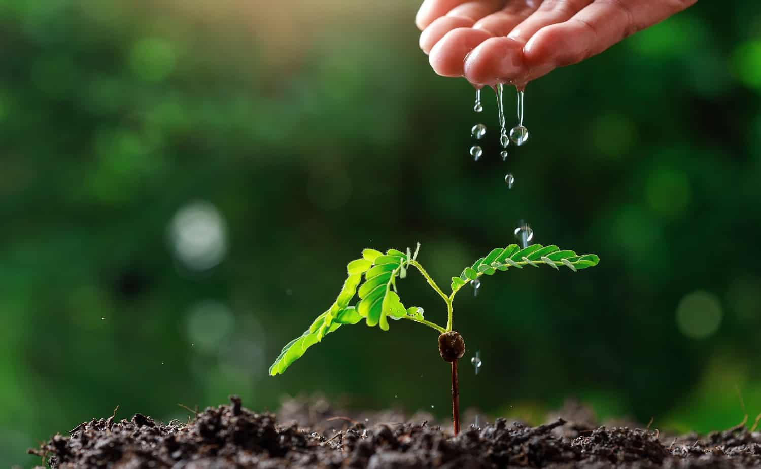 Close up Farmer Hand watering young baby plants (tamarind tree).