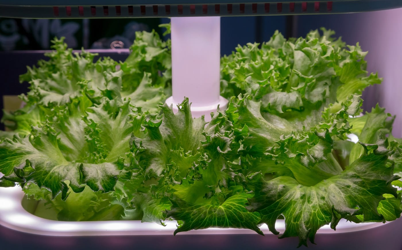 Vegetable growing with LED Light Indoor farm, Agriculture Technology. Organic hydroponic Brassica chinensis