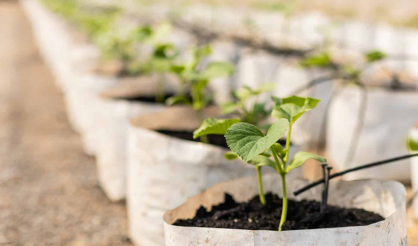 Row of young green melon tree in white seedling bag at the planting house