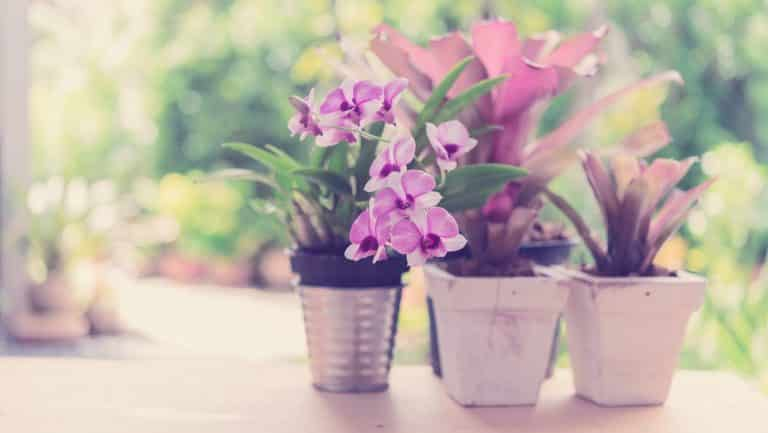 Beautiful purplr orchid flowers and Bromeliad in green garden outdoors,retro effect
