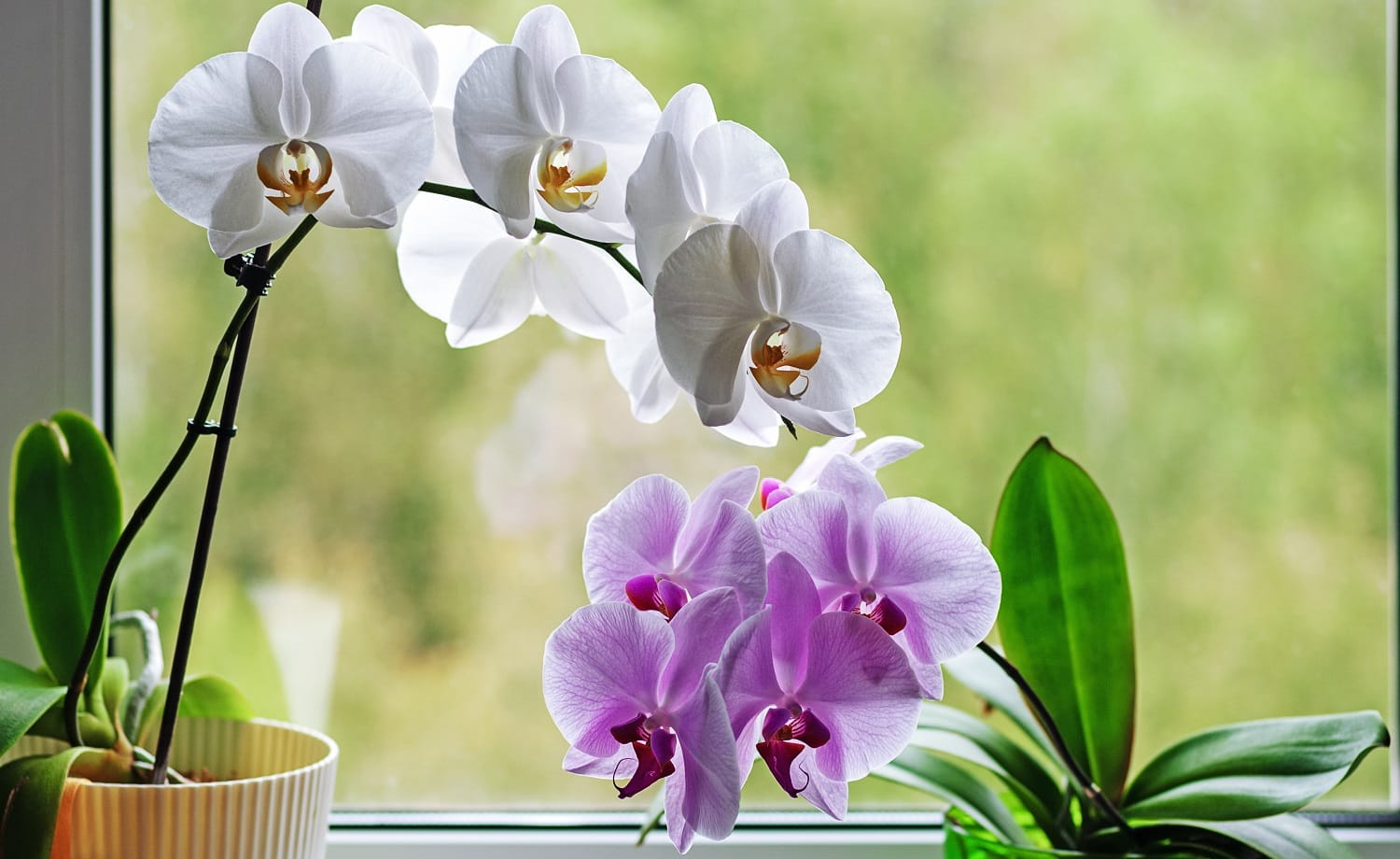 orchids blooming in flower pots on window sill