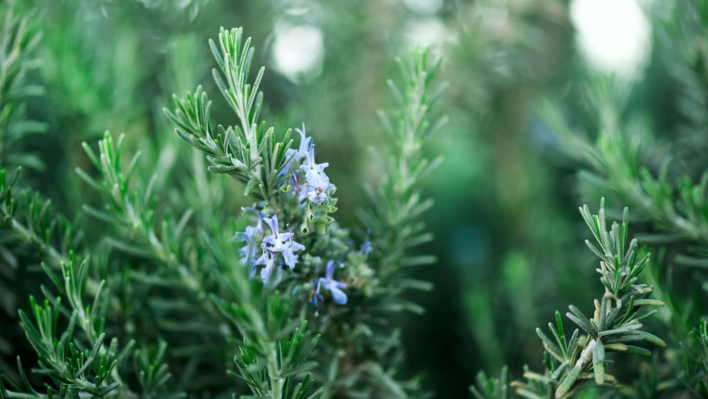 Blossoming rosemary plants with flowers on green bokeh herb background. Rosmarinus officinalis angustissimus Benenden blue field. Copy space.
