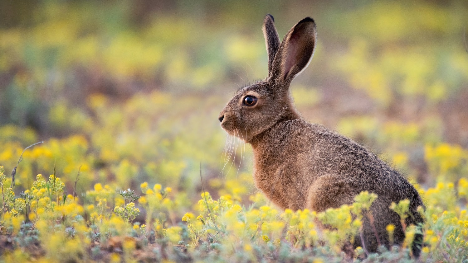 European hare stands in the grass and looking at the camera (Lepus europaeus).
