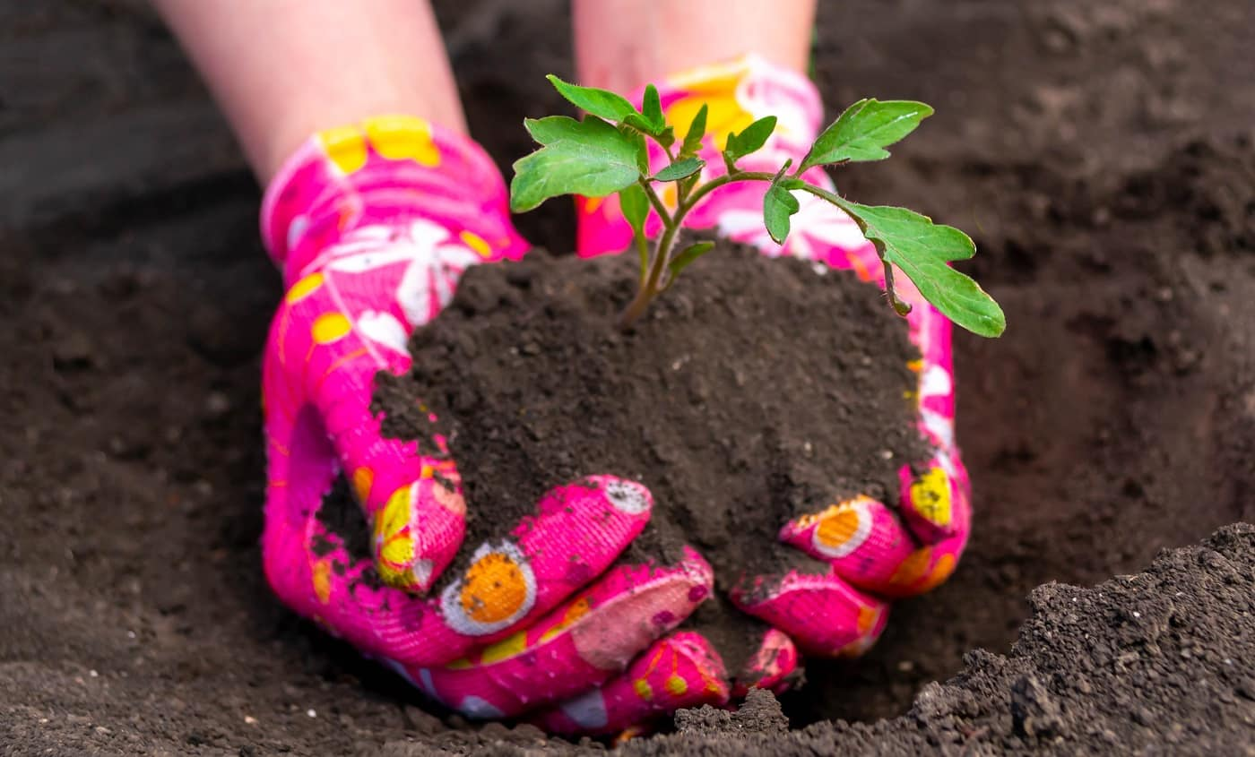 Planting tomato seedlings, hands in pink gloves plant a sprout