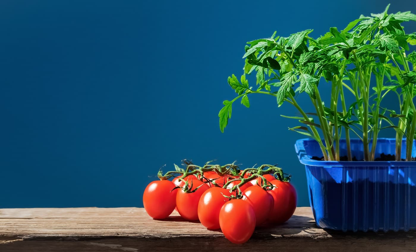 Tomato seedlings in pot and ripe tomatoes, shot in natural sunlight on blue background. Young plants in plastic pot ready for planting in the ground, organic gardening, Earth Day. Close-up, copy space