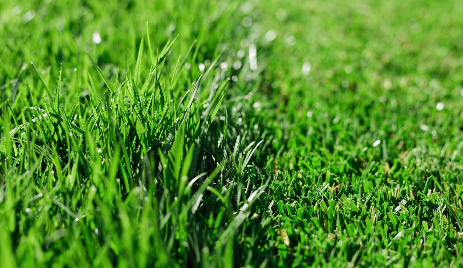 Green fresh grass. Partially cut grass lawn. Difference between perfectly mowed, trimmed garden lawn or field for sports, golf and long uncut grass. Lawn, carpet, natural green trimmed grass field