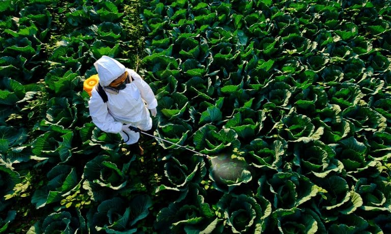 Female gardener in a protective suit and mask spray Insecticide and chemistry on huge cabbage vegetable plant