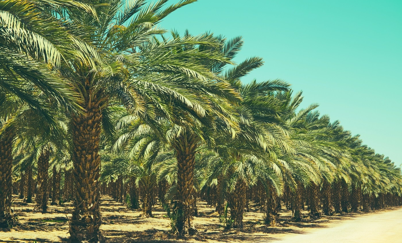 Plantation of date palm trees in Israel. Beautiful nature background for posters, cards, web design.