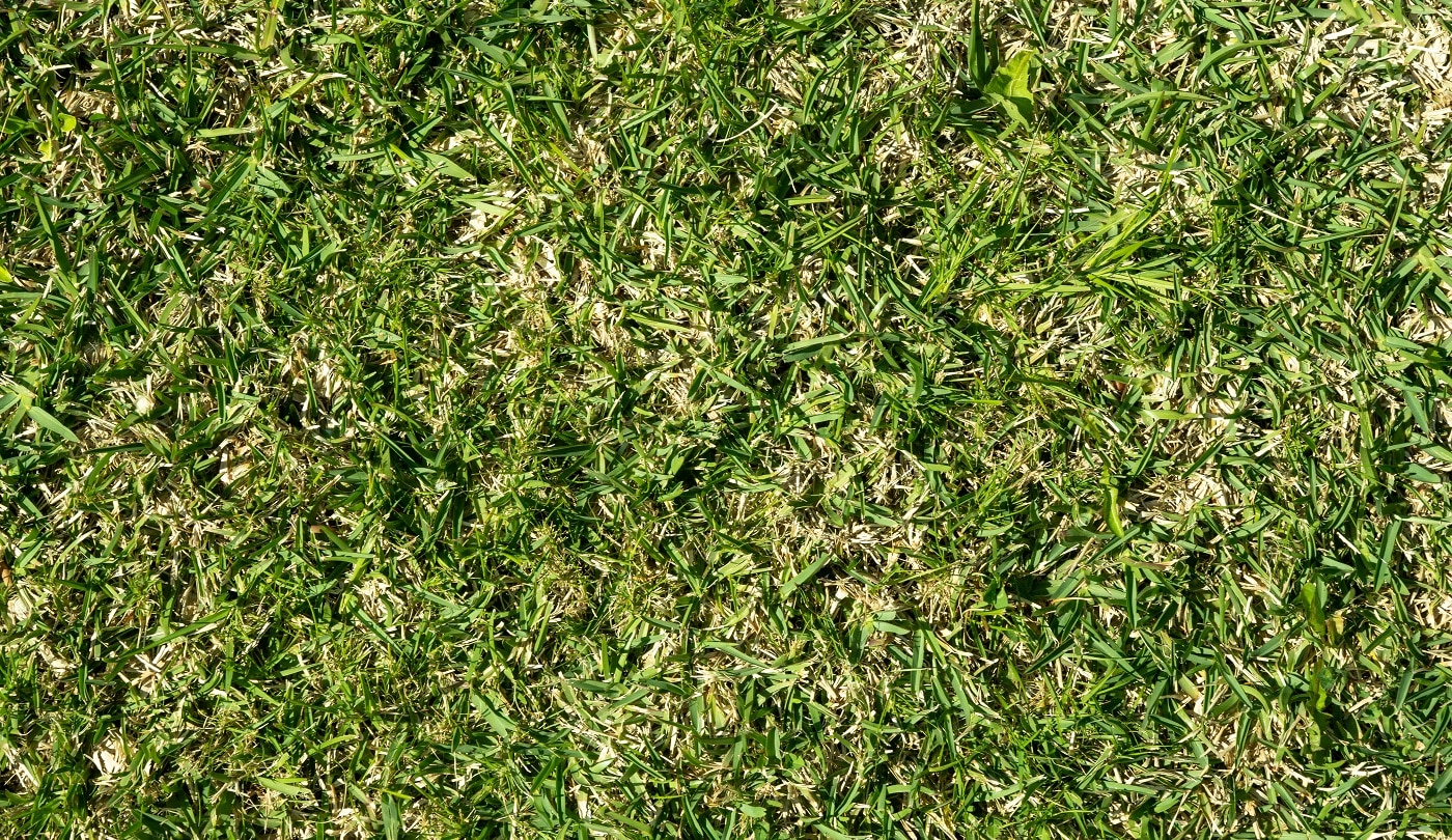 St. Augustine grass background. Stenotaphrum secundatum