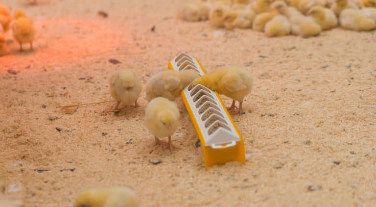 Small yellow chickens eat on the farm.
