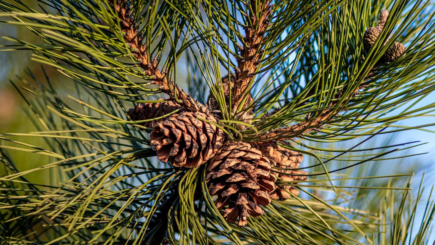 A closeup shot of pine cones hanging on the tree