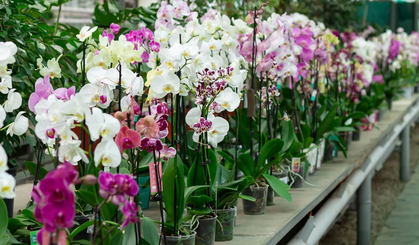 Potted orchids on counter in store. Phalaenopsis flowers of different colors