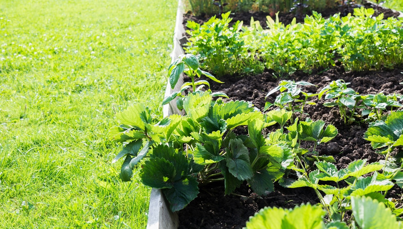 Strawberries, vegetable and greens garden beds. Gardening. Summer hobby. Close Up. Outdoor Fresh greens