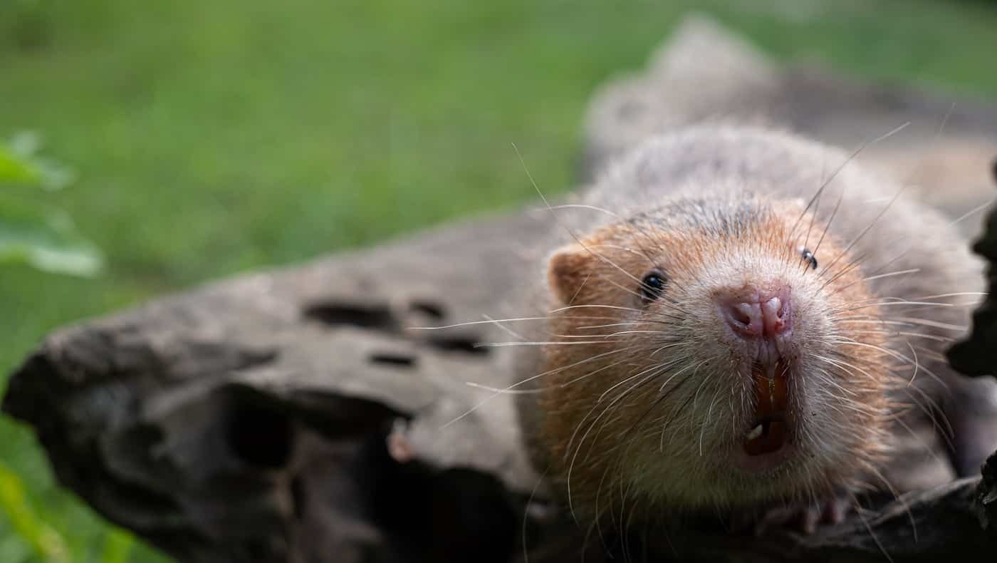 Mole rat or Large bamboo rat in the garden