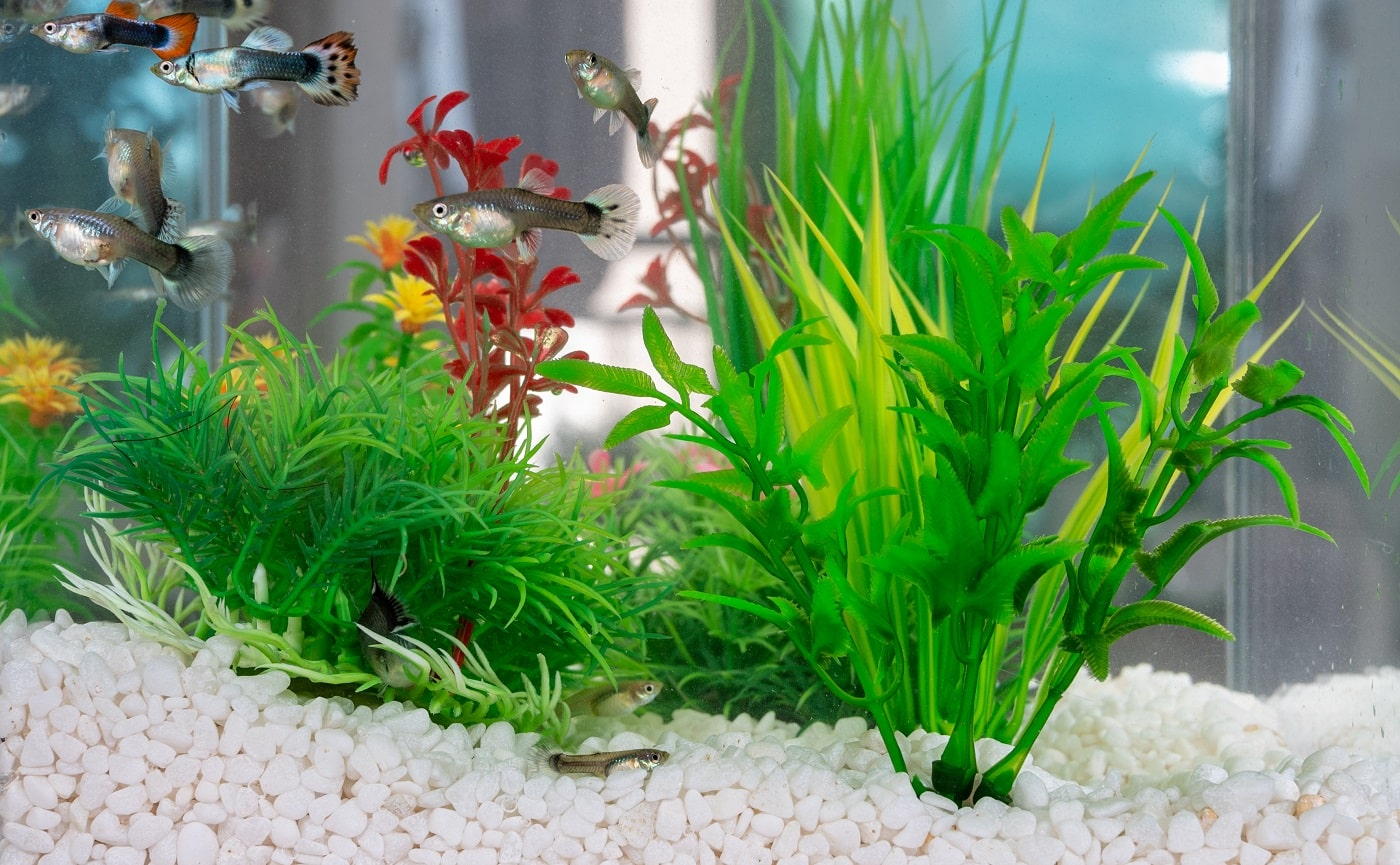 Guppys swimming in a fishbowl with clean white little stones and artificial water plants.