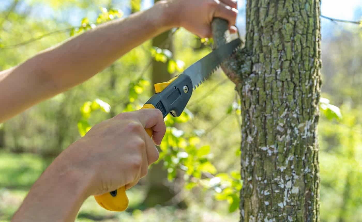 A man cuts a dry branch with a hand saw on a tree in the forest.