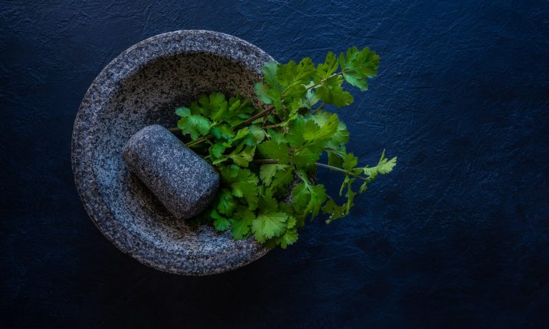 Coriander fresh cilantro in a molcajete mortar and pestle