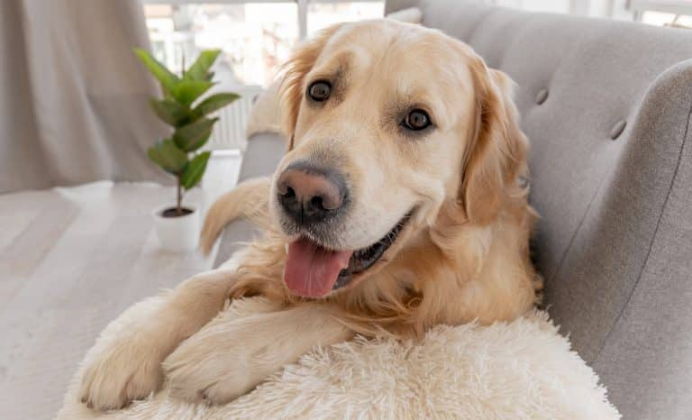 Closeup portrait of golden retriever dog lying on the grey sofa and looking at the camera